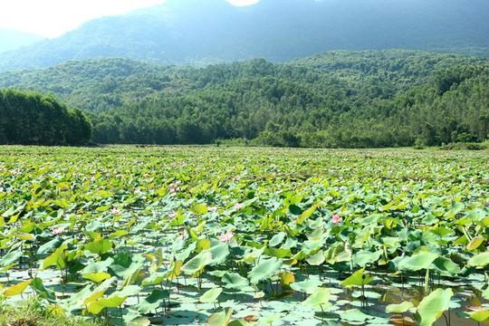 Ngắm cánh đồng sen tuyệt đẹp ở Quảng Nam - ảnh 2
