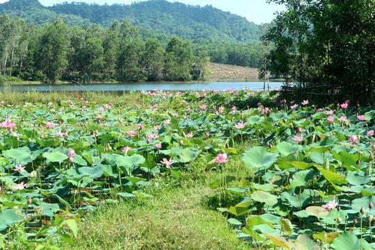 Ngắm cánh đồng sen tuyệt đẹp ở Quảng Nam - ảnh 5