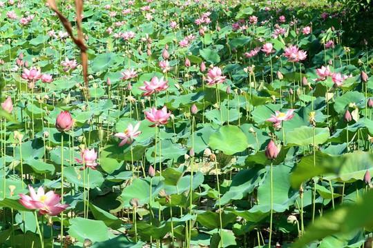 Ngắm cánh đồng sen tuyệt đẹp ở Quảng Nam - ảnh 6
