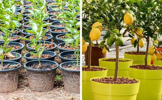 8 loại cây ăn quả nên trồng trong nhà mình - Ảnh 2.