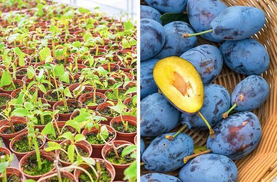8 loại cây ăn quả nên trồng trong nhà mình - Ảnh 6.