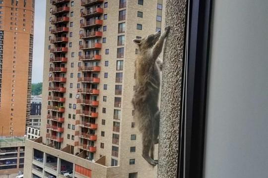 Dân Mỹ thót tim theo dõi gấu mèo leo tường như người nhện - Ảnh 1.