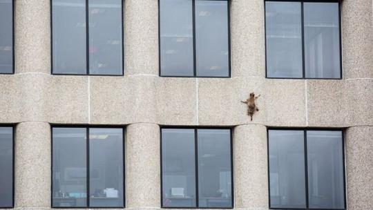 Dân Mỹ thót tim theo dõi gấu mèo leo tường như người nhện - Ảnh 2.