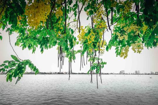 Ngắm vẻ đẹp xao xuyến của muồng hoàng yến bên hồ Tây - Ảnh 4.