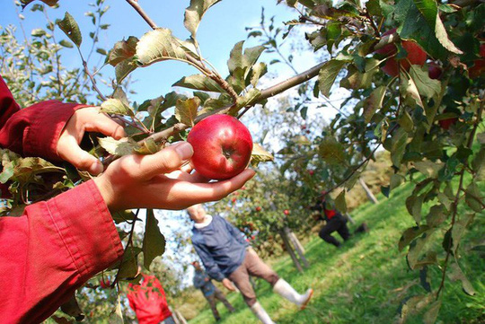 Vườn táo đẹp như cổ tích của cụ ông người Nhật  - Ảnh 12.