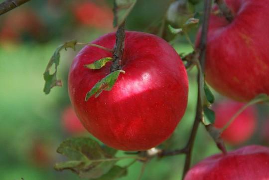 Vườn táo đẹp như cổ tích của cụ ông người Nhật  - Ảnh 13.