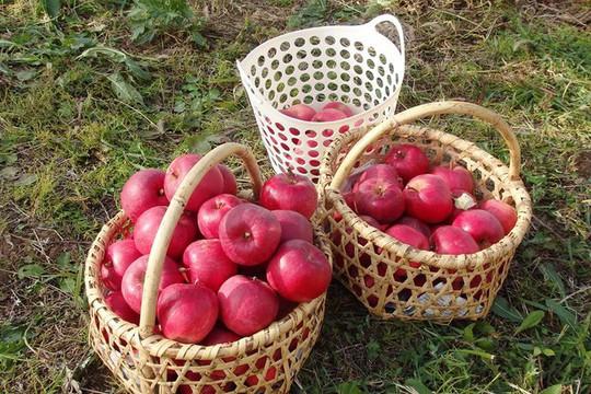 Vườn táo đẹp như cổ tích của cụ ông người Nhật  - Ảnh 15.