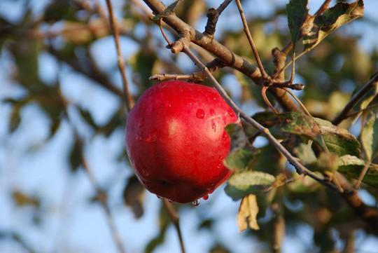 Vườn táo đẹp như cổ tích của cụ ông người Nhật  - Ảnh 16.
