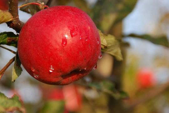 Vườn táo đẹp như cổ tích của cụ ông người Nhật  - Ảnh 17.