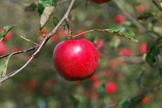 Vườn táo đẹp như cổ tích của cụ ông người Nhật  - Ảnh 18.