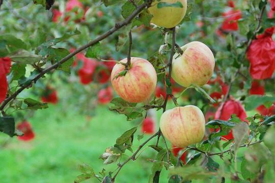 Vườn táo đẹp như cổ tích của cụ ông người Nhật  - Ảnh 19.
