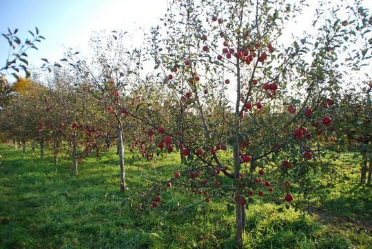 Vườn táo đẹp như cổ tích của cụ ông người Nhật  - Ảnh 5.