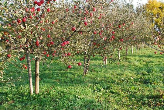 Vườn táo đẹp như cổ tích của cụ ông người Nhật  - Ảnh 6.