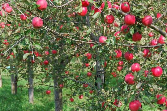 Vườn táo đẹp như cổ tích của cụ ông người Nhật  - Ảnh 7.