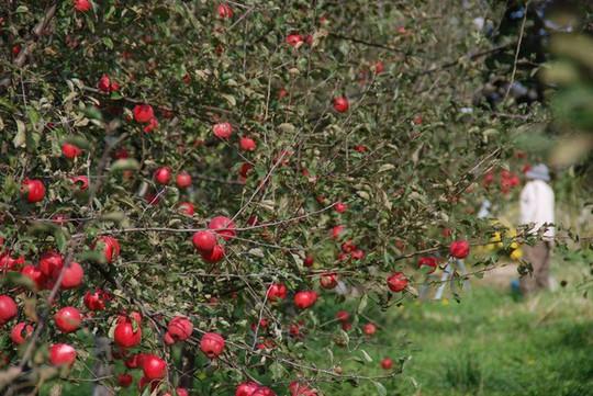Vườn táo đẹp như cổ tích của cụ ông người Nhật  - Ảnh 9.