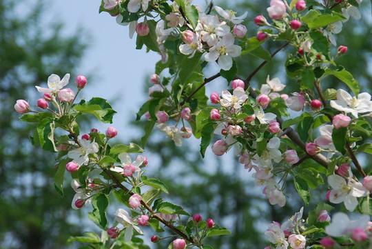 Vườn táo đẹp như cổ tích của cụ ông người Nhật  - Ảnh 10.