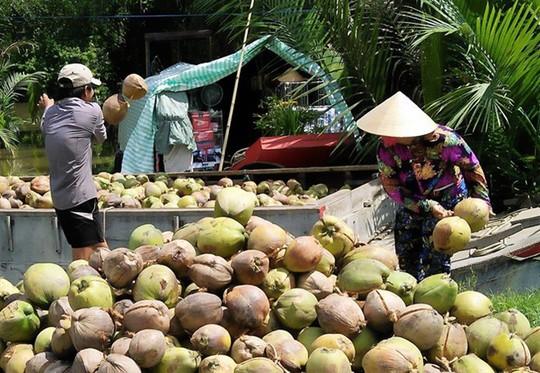 Giá dừa Bến Tre thấp kỷ lục 2.500 đồng/trái vì Trung Quốc ngưng mua - Ảnh 1.