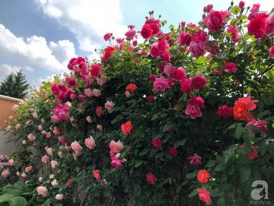 Khu vườn rộng 500m² với hàng trăm gốc hồng đẹp rực rỡ - Ảnh 1.