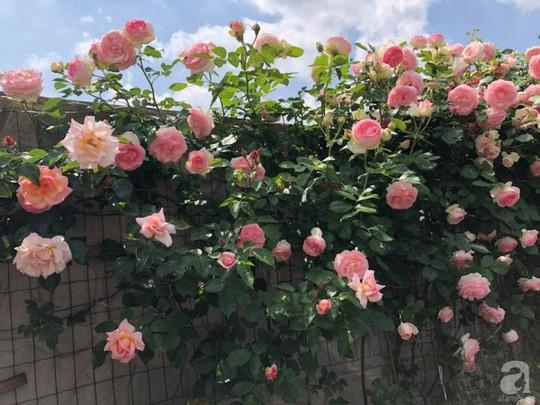 Khu vườn rộng 500m² với hàng trăm gốc hồng đẹp rực rỡ - Ảnh 2.