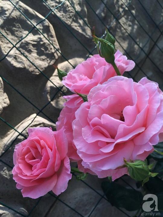Khu vườn rộng 500m² với hàng trăm gốc hồng đẹp rực rỡ - Ảnh 11.