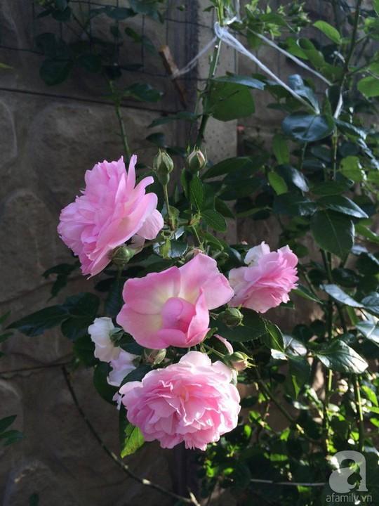 Khu vườn rộng 500m² với hàng trăm gốc hồng đẹp rực rỡ - Ảnh 12.