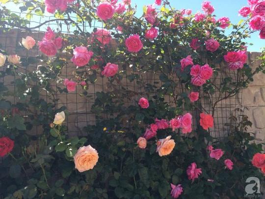 Khu vườn rộng 500m² với hàng trăm gốc hồng đẹp rực rỡ - Ảnh 13.