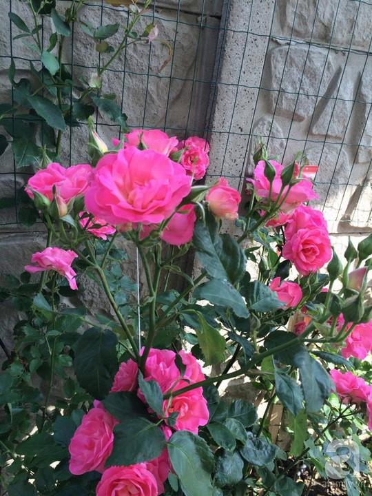 Khu vườn rộng 500m² với hàng trăm gốc hồng đẹp rực rỡ - Ảnh 14.