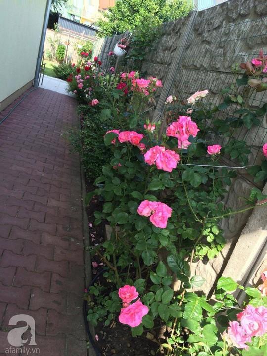 Khu vườn rộng 500m² với hàng trăm gốc hồng đẹp rực rỡ - Ảnh 15.