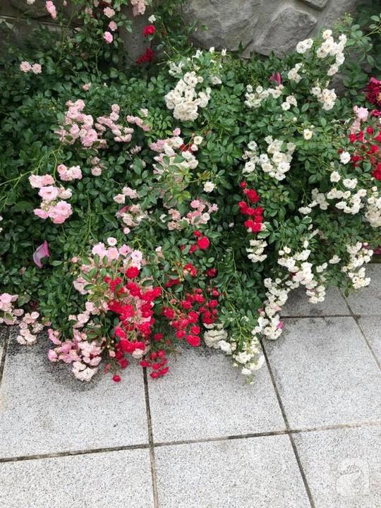 Khu vườn rộng 500m² với hàng trăm gốc hồng đẹp rực rỡ - Ảnh 16.
