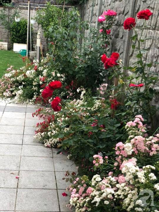 Khu vườn rộng 500m² với hàng trăm gốc hồng đẹp rực rỡ - Ảnh 17.