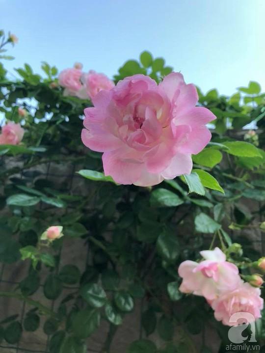 Khu vườn rộng 500m² với hàng trăm gốc hồng đẹp rực rỡ - Ảnh 18.