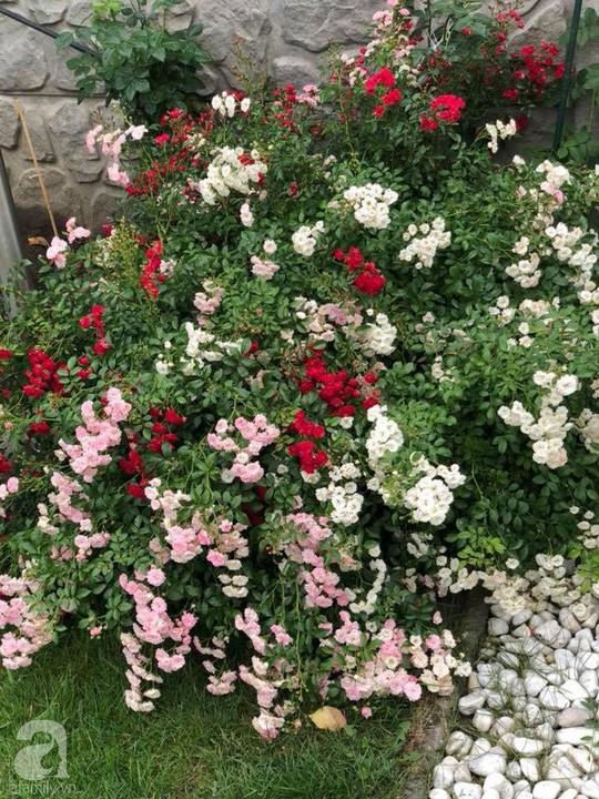 Khu vườn rộng 500m² với hàng trăm gốc hồng đẹp rực rỡ - Ảnh 19.