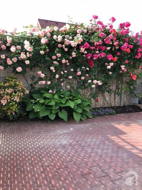 Khu vườn rộng 500m² với hàng trăm gốc hồng đẹp rực rỡ - Ảnh 20.