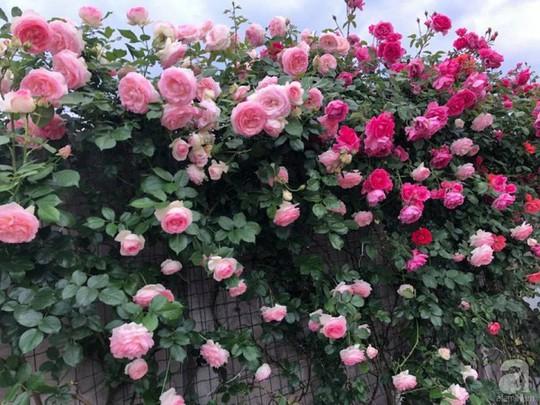 Khu vườn rộng 500m² với hàng trăm gốc hồng đẹp rực rỡ - Ảnh 3.