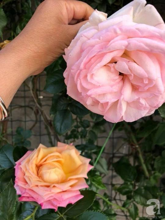 Khu vườn rộng 500m² với hàng trăm gốc hồng đẹp rực rỡ - Ảnh 21.