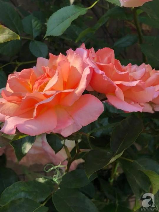 Khu vườn rộng 500m² với hàng trăm gốc hồng đẹp rực rỡ - Ảnh 22.