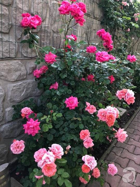 Khu vườn rộng 500m² với hàng trăm gốc hồng đẹp rực rỡ - Ảnh 23.