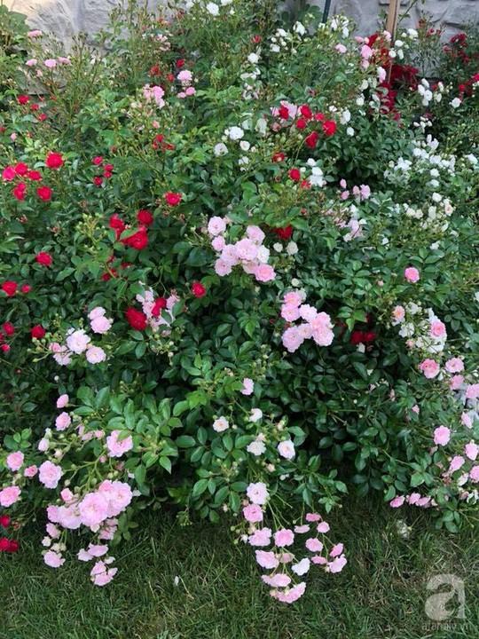 Khu vườn rộng 500m² với hàng trăm gốc hồng đẹp rực rỡ - Ảnh 24.