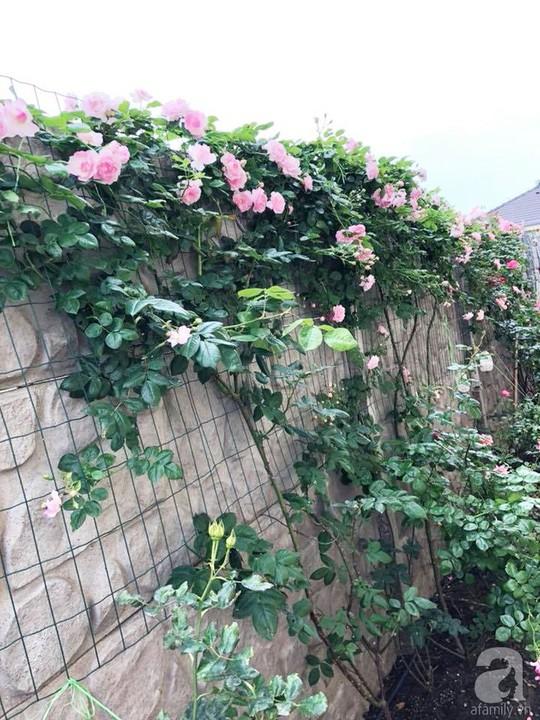 Khu vườn rộng 500m² với hàng trăm gốc hồng đẹp rực rỡ - Ảnh 25.
