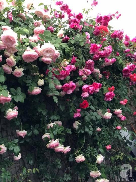 Khu vườn rộng 500m² với hàng trăm gốc hồng đẹp rực rỡ - Ảnh 26.