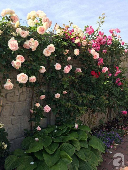 Khu vườn rộng 500m² với hàng trăm gốc hồng đẹp rực rỡ - Ảnh 5.