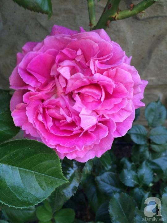 Khu vườn rộng 500m² với hàng trăm gốc hồng đẹp rực rỡ - Ảnh 7.