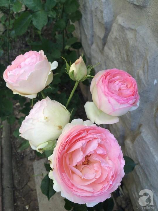 Khu vườn rộng 500m² với hàng trăm gốc hồng đẹp rực rỡ - Ảnh 8.