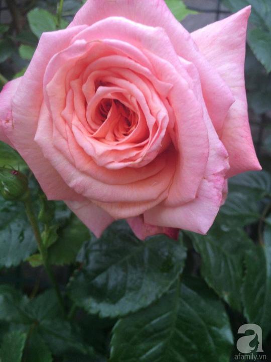 Khu vườn rộng 500m² với hàng trăm gốc hồng đẹp rực rỡ - Ảnh 9.