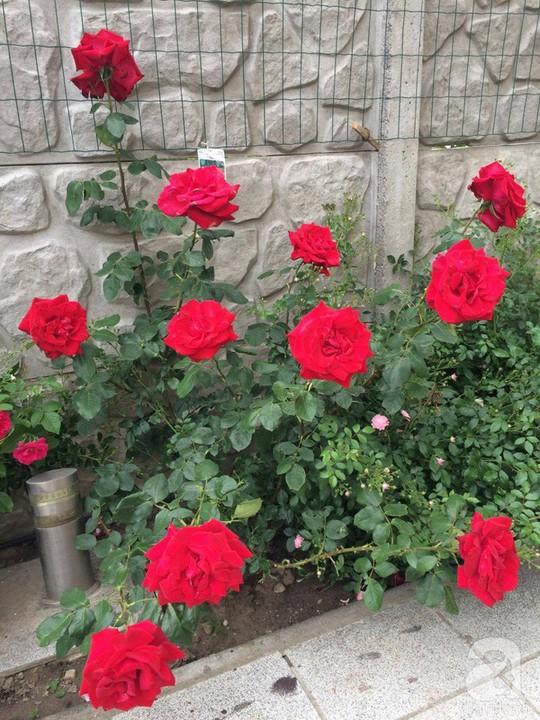 Khu vườn rộng 500m² với hàng trăm gốc hồng đẹp rực rỡ - Ảnh 10.