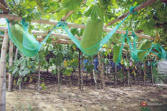 Khu vườn với những quả bí đao khổng lồ nằm võng - Ảnh 3.