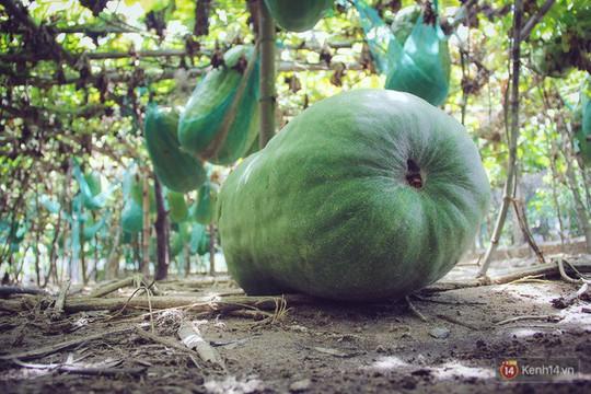Khu vườn với những quả bí đao khổng lồ nằm võng - Ảnh 8.