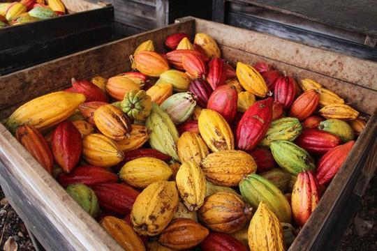 Hành trình biến hạt ca cao thành món chocolate vạn người mê - Ảnh 3.