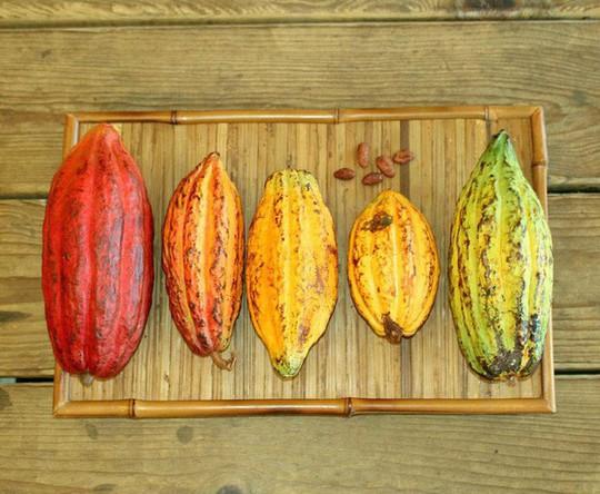 Hành trình biến hạt ca cao thành món chocolate vạn người mê - Ảnh 4.