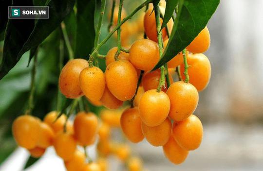 Quất hồng bì: Vua trái cây mùa hè được săn lùng - Ảnh 1.